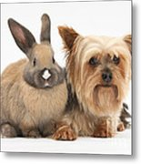 Yorkshire Terrier And Young Rabbit Metal Print