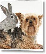Yorkshire Terrier And Young Silver Metal Print