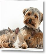 Yorkshire Terrier Dog And Baby Rabbits Metal Print