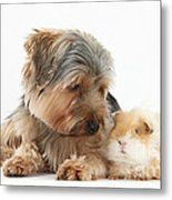 Yorkshire Terrier Dog And Guinea Pig Metal Print