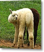 You Can't Sneak Up On Alpacas Metal Print