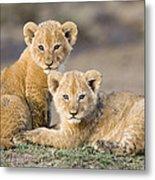 Young African Lion Cubs  Metal Print