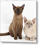 Young Burmese Cats Metal Print