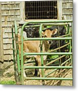 Young Calf In Fence Pen Near Barn Summer Maine Metal Print