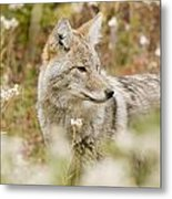 Young Coyote Canis Latrans In A Forest Metal Print