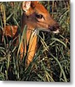 Young Deer Laying In Grass Metal Print