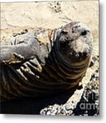 Young Elephant Seal Molting . 7d16091 Metal Print by Wingsdomain Art and Photography