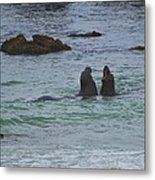Young Elephant Seals Sparring Metal Print