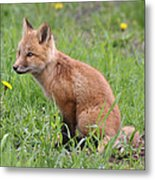 Young Fox Among The Dandelions Metal Print