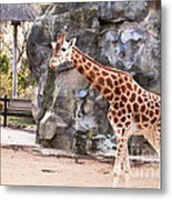 Young Giraffe Metal Print