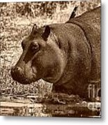Young Hippo Metal Print