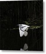 Young Little Blue Heron On The Loxahatchee River Metal Print