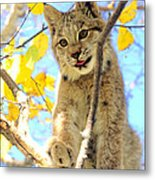 Young Lynx In A Tree Metal Print
