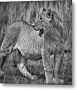 Young Male Lion Metal Print