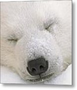 Young Polar Bear With Snow Dusted Metal Print