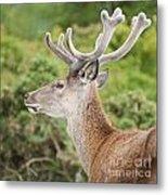 Young Red Deer Metal Print
