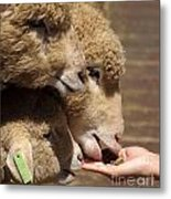 Young Sheep Are Hand Fed Metal Print