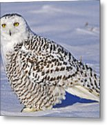 Young Snowy Owl Metal Print