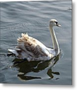 Young Swan Metal Print