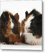 Young Tricolour Guinea Pigs Metal Print