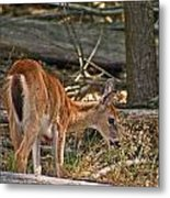 Young Whitetail Metal Print