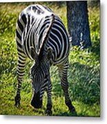 Zebra At Close Range Metal Print by Kelly Rader