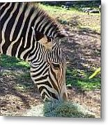 Zebra At Lunch Metal Print