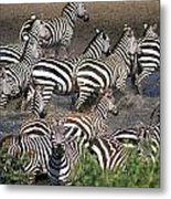 Zebra At Waterhole Metal Print