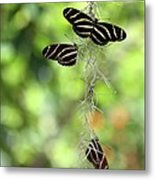 Zebra Butterflies Hanging Out Metal Print