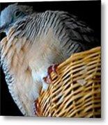 Zebra Dove From Above Metal Print