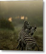 Zebra Equus Burchelli Metal Print