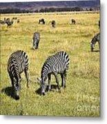 Zebra Grub Metal Print