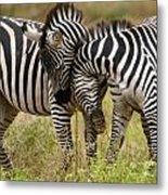 Zebra Hug Metal Print