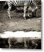 Zebra Reflection  Metal Print