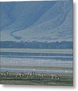 Zebras And Pink Flamingos, Ngorongoro Metal Print