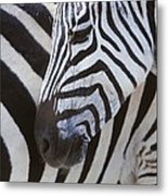Zebras Close Up Metal Print