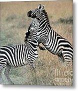 Zebras Fighting Metal Print by Alan Clifford