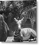 Zebras In Black And White Metal Print