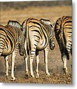 Zebras Three Metal Print