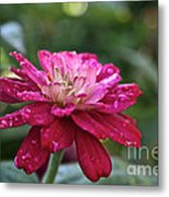 Zinnia Quenched Metal Print