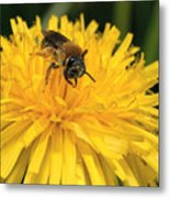 A Bee In A Dandelion Metal Print