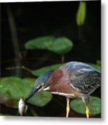A Green Heron With Fish Metal Print