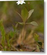 Arctic Starflower Metal Print