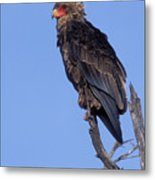 Bataleur Eagle Viewpoint Metal Print