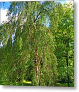 Birch Tree In Afternoon Metal Print