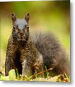 Curious Black Squirrel Metal Print by Mircea Costina Photography