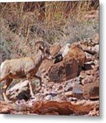 Escalante Canyon Desert Bighorn Sheep  Metal Print
