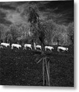 Line Of Cows Metal Print