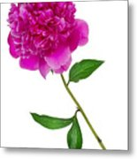 Little Ant And Peony Metal Print