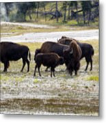 North American Female Buffalo And Her Offspring Showing Affecti Metal Print